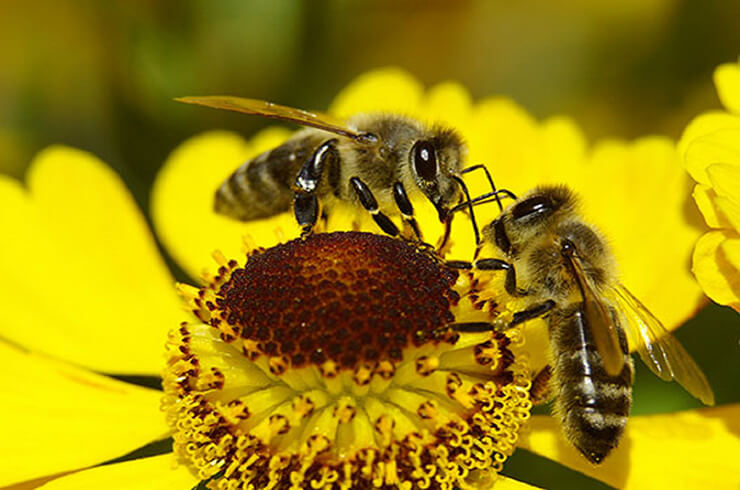 bees-collecting-pollen