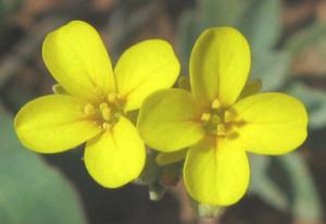 flower of mustard