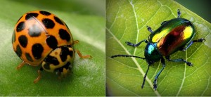 Ladybird and Apo beetle. 1 jpg