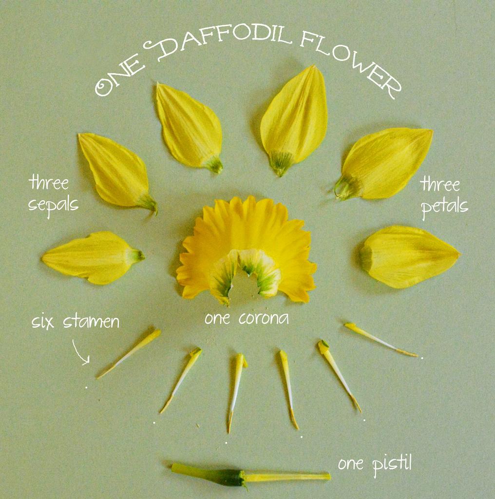 daffodil flower parts u2013 fiori idea immagine