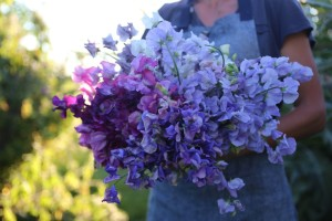 Bunch of Blue sweetpea-