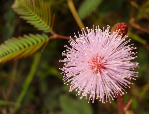 Mimosa-pudica-1