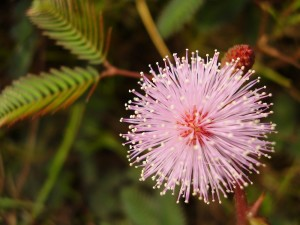 Mimosa pudica or touch-me-not flower