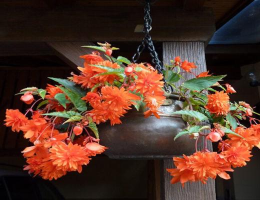 Hanging-indoor-plant