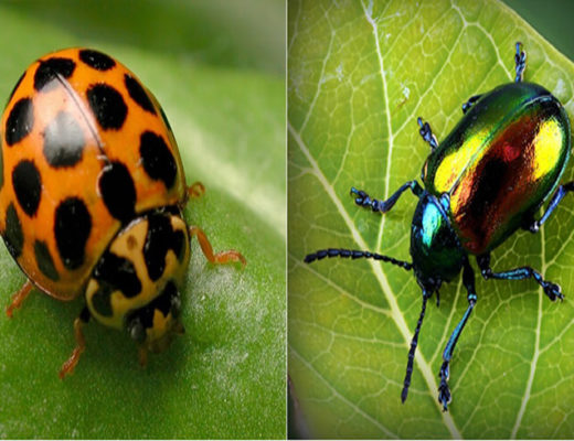 Ladybird-and-Apo-beetle.-1-jpg