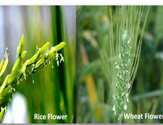 Rice-and-Wheat-Flower-png