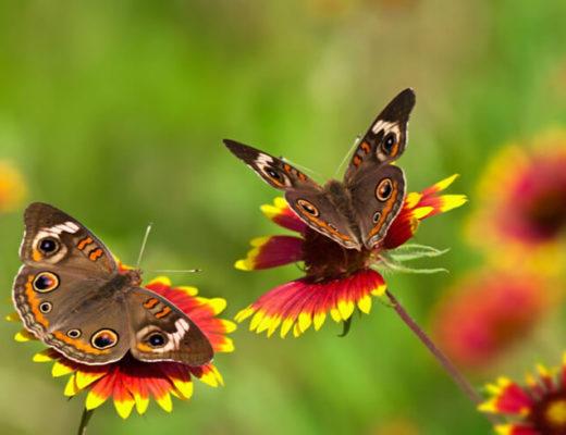 butterflies-garden-flowers