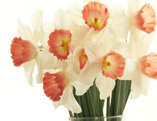daffodils_flowers_bouquet_spring_white_background_68789_1920x1080