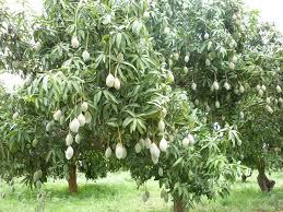 mango tree fruiting