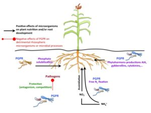 rhizosphere of plants harbor microorganisms that also solubilize and make other nutrients available