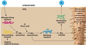 N fixation in the soil