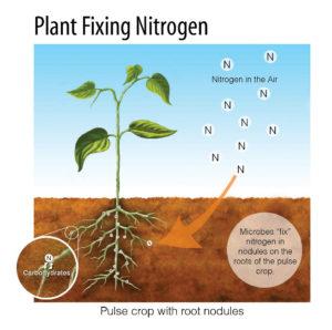 Plant_fixing_nitrogen_large