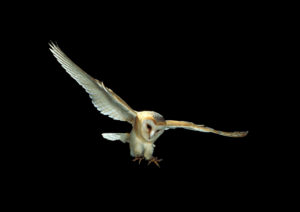 Barn owl swooping in the sky