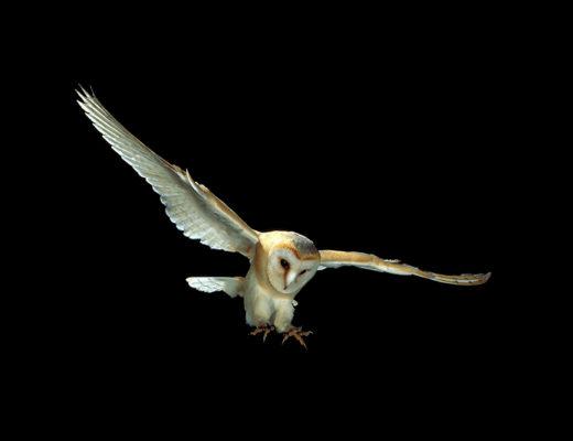 Barn owl swooping - Tyto alba