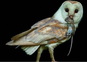 owl catching a rat for dinner